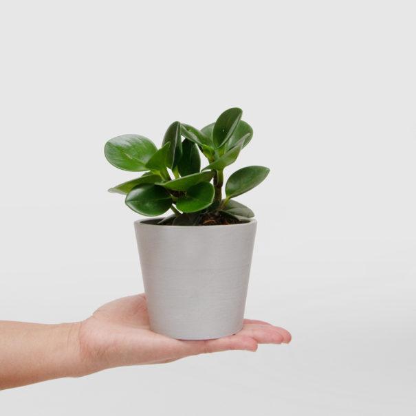 Peperomia Mini Ecopot Whitestone Hand
