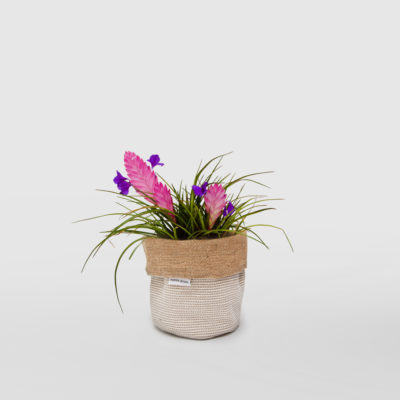 Tillandsia Cyanea Pink Quill Planter Bag Basketweave