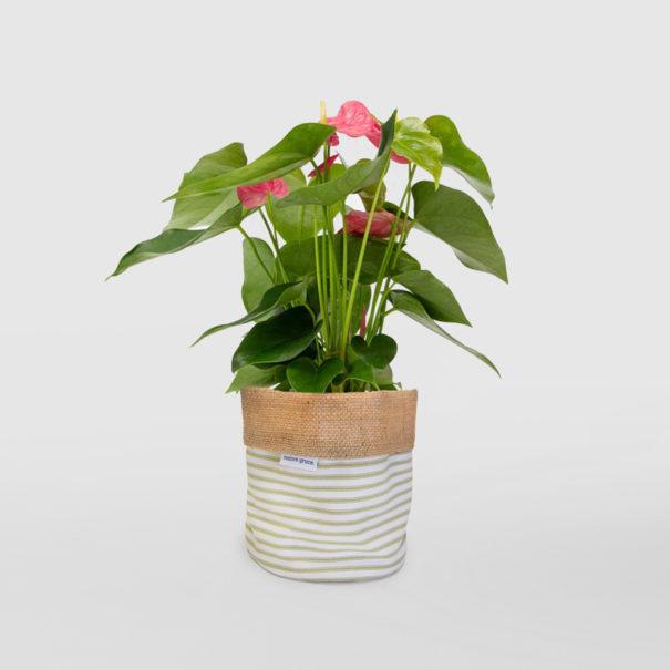 Anthrurium Flamingo Flower Planter Bag Sage Stripe Small