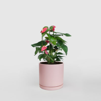 Anthurium Ceramic Pot Pink