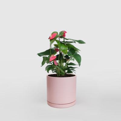 Anthurium Ceramic Pot Pink