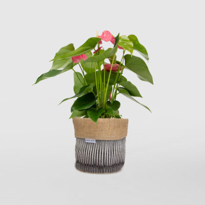 Anthurium Flamingo Flower in Planter Bag Black