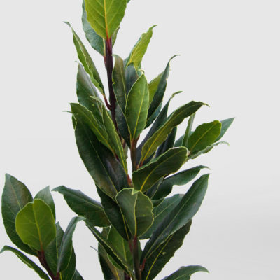 Bay Tree Leaves Laurel