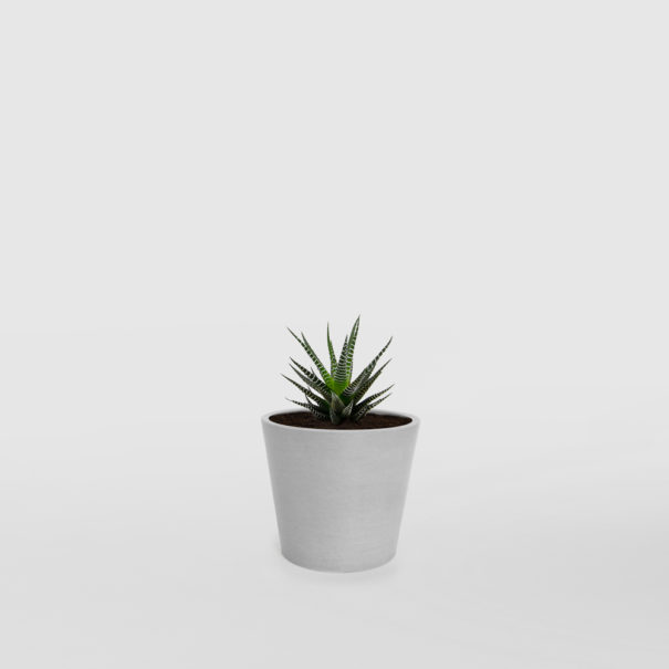 Haworthia Zebra Plant Succulent EcoPot Mini Whitestone