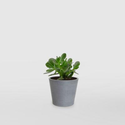 Jade Plant Money Plant EcoPot Mini Blue Grey