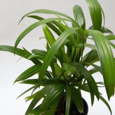 Lady Palm Foliage