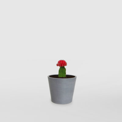 Moon Cactus EcoPot Mini Blue Grey