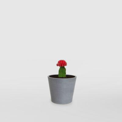 Moon Cactus EcoPot Mini Blue Grey
