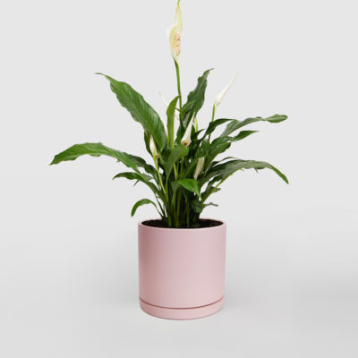 Peace Lily Ceramic Pot Pink