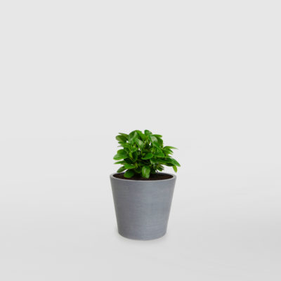 Peperomia Baby Rubber EcoPot Mini Blue Grey