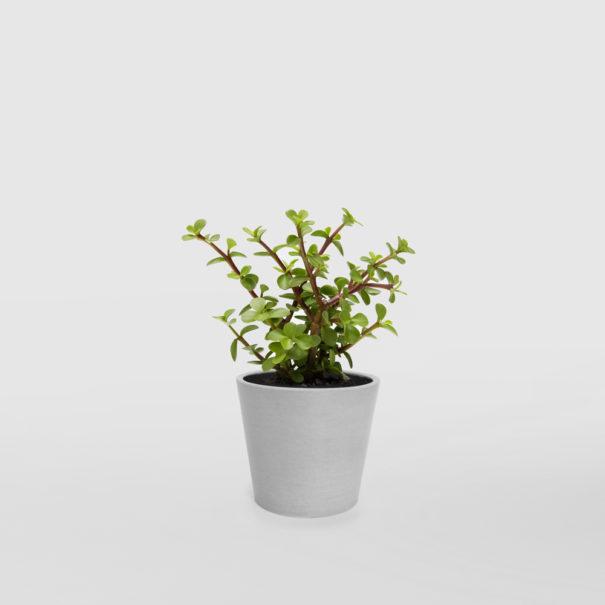 Portulacaria Afra Jade Plant EcoPot Mini Whitestone