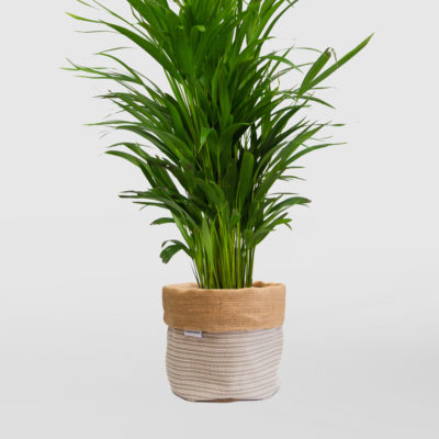Golden Cane Palm Planter Bag Medium Natural Basketweave