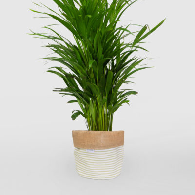Golden Cane Palm Planter Bag Sage Medium