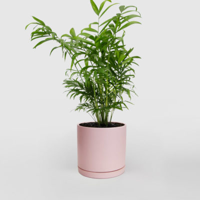 Parlour Palm Ceramic Pot Pink