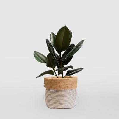 Rubber Plant Ficus Elastica Planter Bag Medium Natural Basketweave