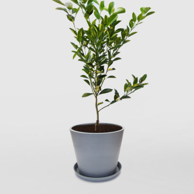 Calamondin Calamansi Tree Large Ecopot Blue Grey