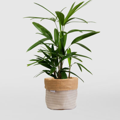 Lady Palm Planter Medium Natural Basketweave