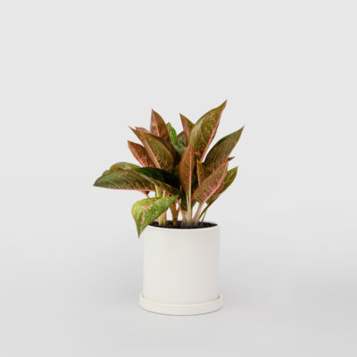 Aglaonema White Ceramic Pot Set 150mm