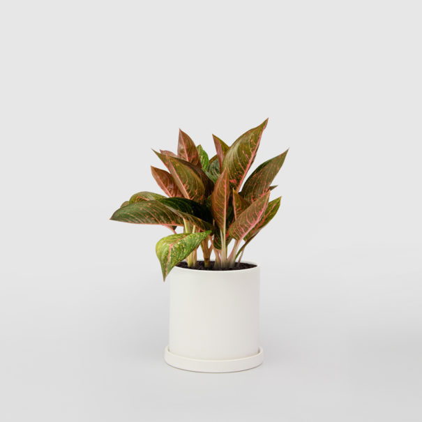 Aglaonema White Ceramic Pot Set 150mm