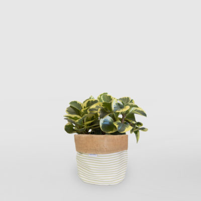 Peperomia Planter Bag Sage Stripe Medium