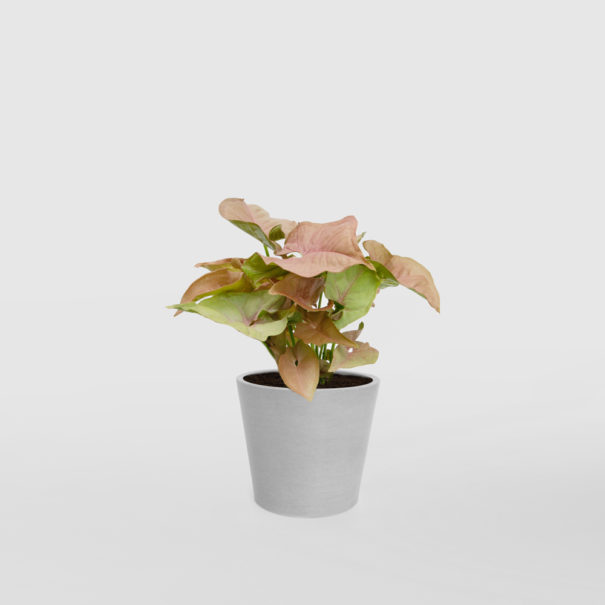Syngonium EcoPot Mini Whitestone
