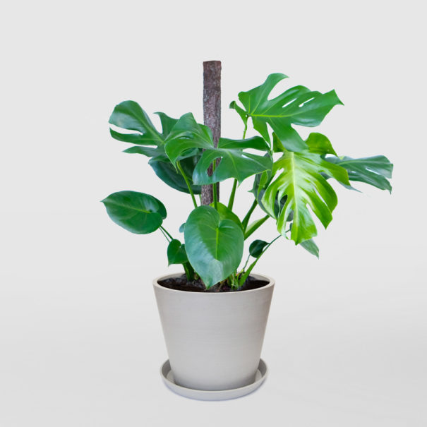 Monstera Deliciosa EcoPot Large Whitestone