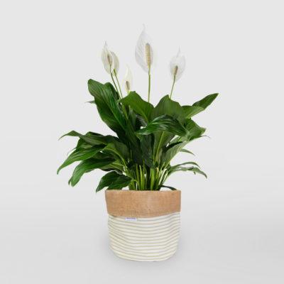 Peace Lily Planter Sage M