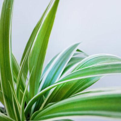 Spider Plant Ribbon Plant
