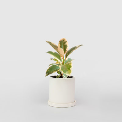 Rubber Plant - Tineke in Small Ceramic Pot