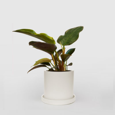 Philodendron Rojo Congo Ceramic Pot Set 210mm