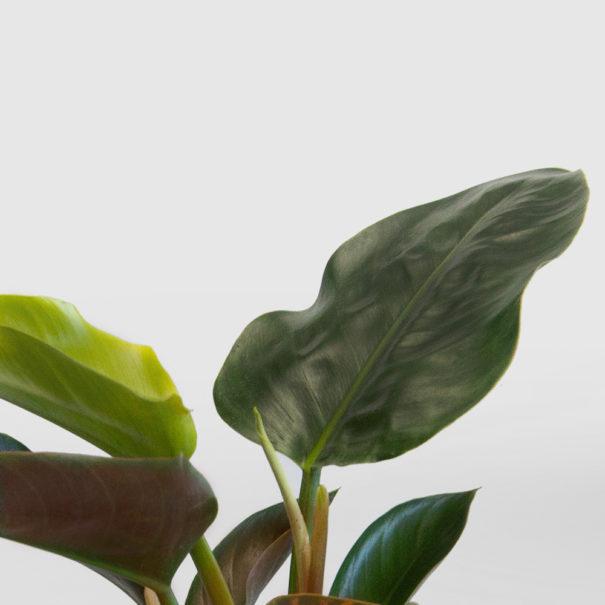 Philodendron Rojo Congo Ceramic Pot Set 210mm