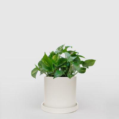 Devils Ivy Ceramic Pot Medium
