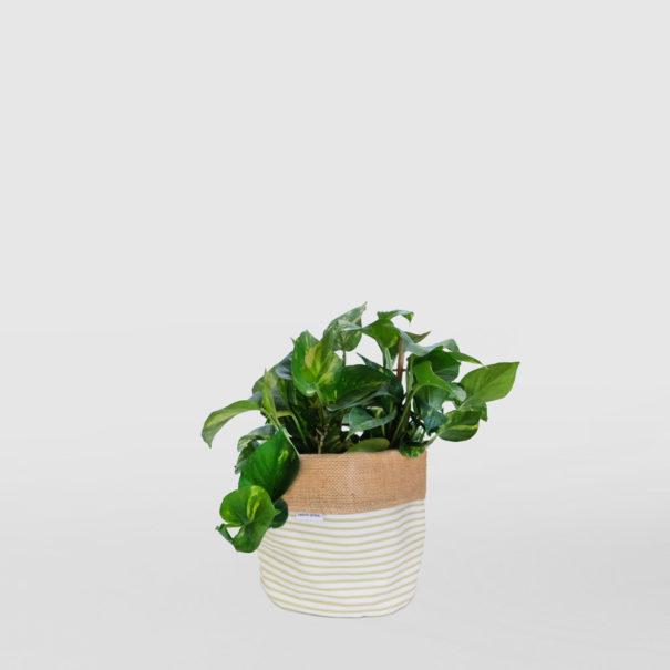 Devils Ivy Planter Bag Sage Medium